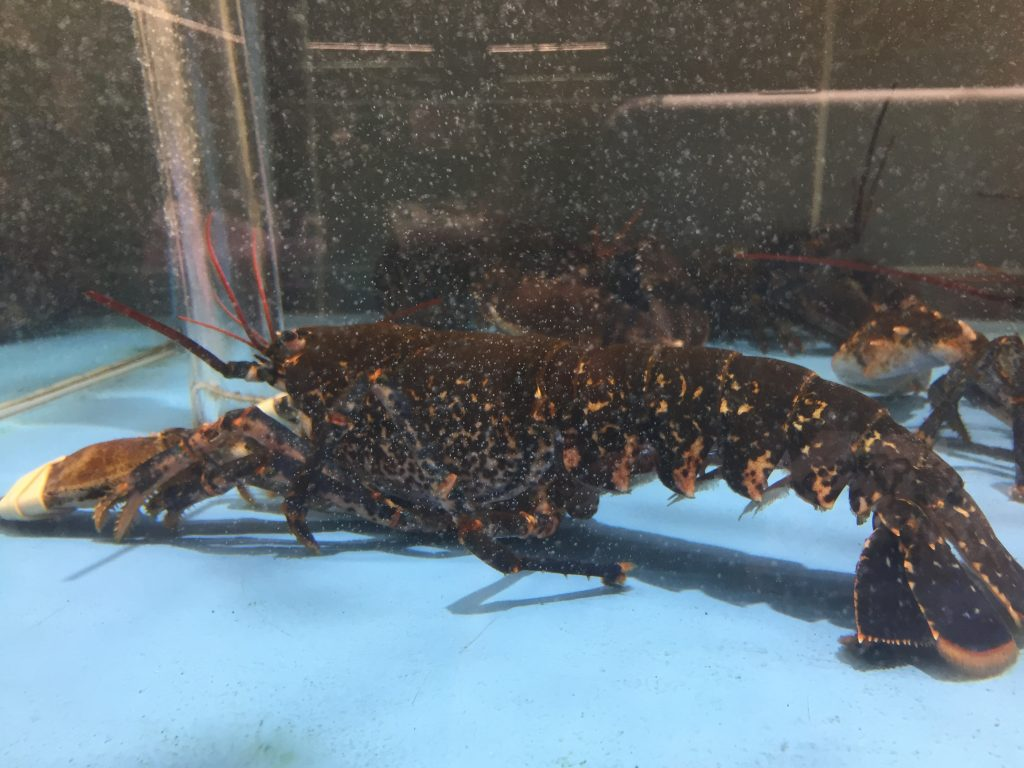 American lobster in a French supermarket
